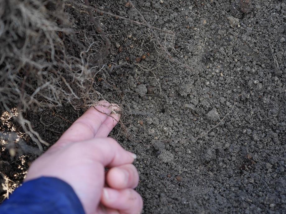 地中内に張り巡らされたバラの根を拡大した写真