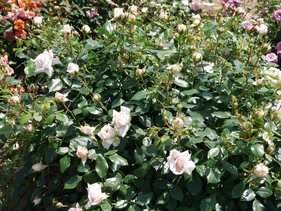 ピンク・ベージュ・アプリコットが混じる複雑な花色のバラ「ガーデン。オブー・ローゼズ」が咲き誇る写真。[撮影:ローズフェスタ]