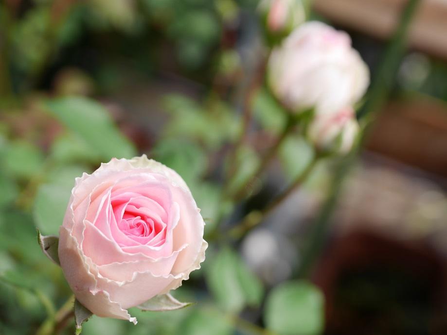 外側はクリーム色で中心付近がピンク色になるカップ咲きのバラ「ミミ・エデン」の花姿。