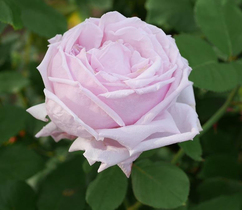 桃色の半剣弁高芯咲きのバラ「ラ・フランス」の花姿。