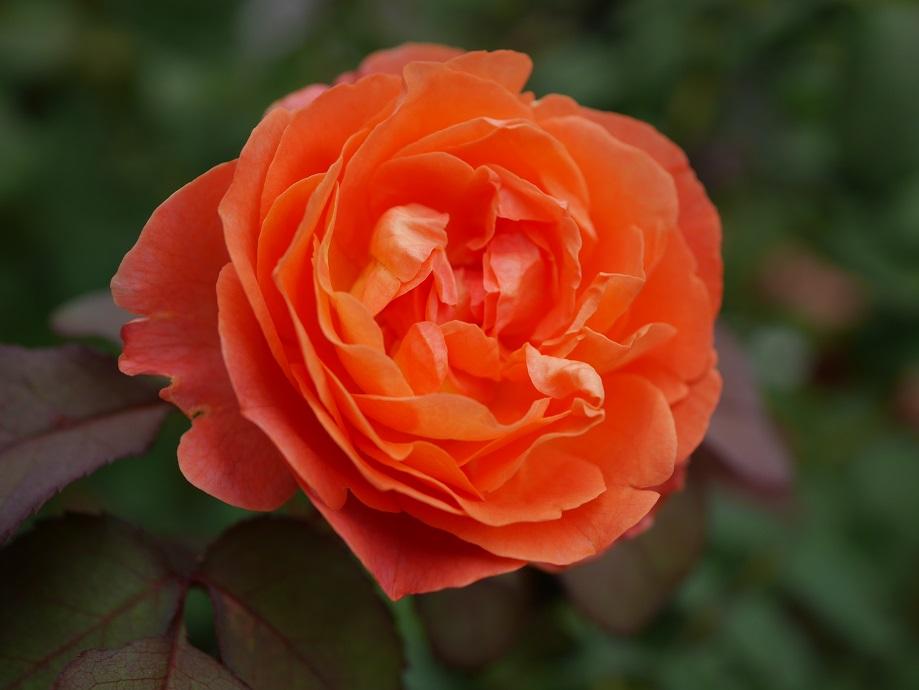 「レディ・エマ・ハミルトン」のオレンジ色の花色がわかる写真