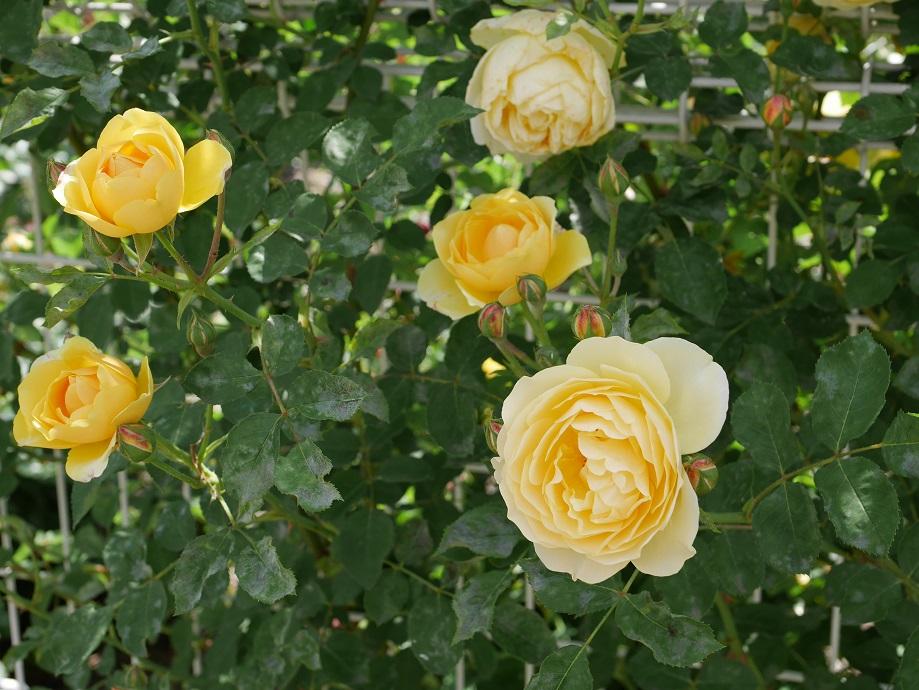 5輪写った透き通るような黄色のバラ「グラハム・トーマス」の花姿。