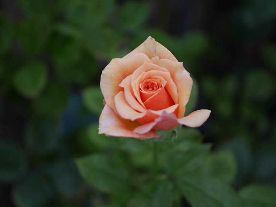 オレンジのバラ「アシュラム」の花姿。