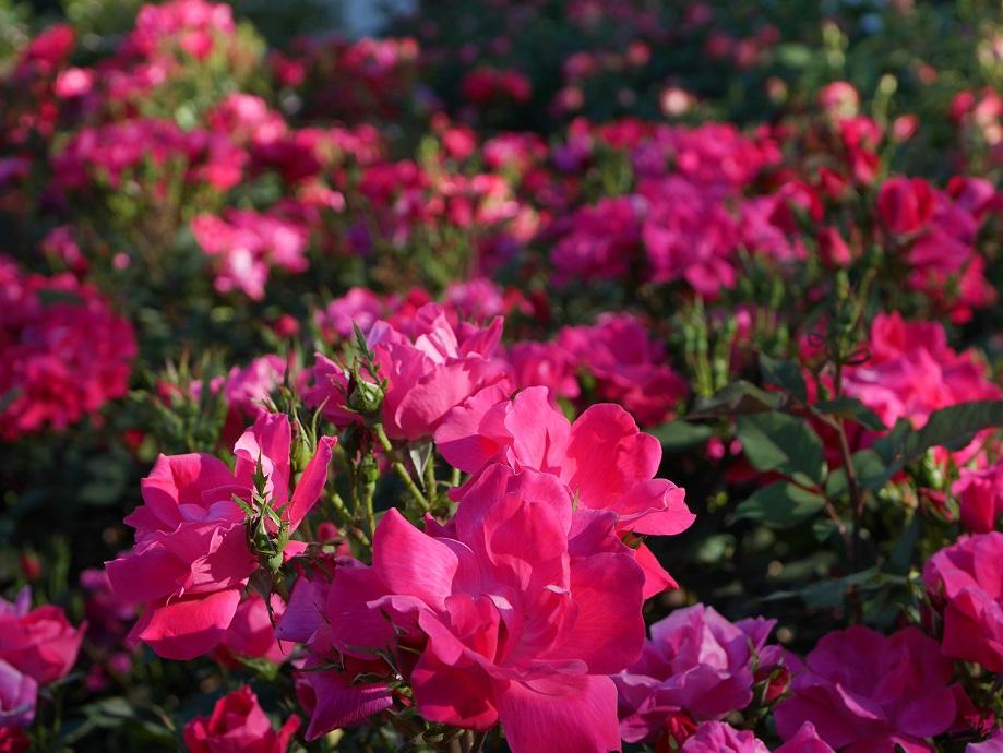画面いっぱいに咲きほこる濃いローズレッド~ピンクの色味のバラ「ノック・アウト」の花姿。[撮影者:花田昇崇]