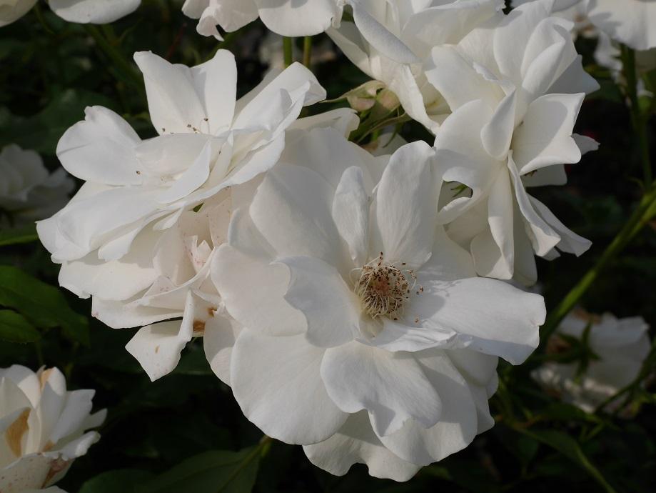 3輪咲いているイングリッシュ・ローズのカップ咲き白バラ「グラミス・キャッスル」の花姿。