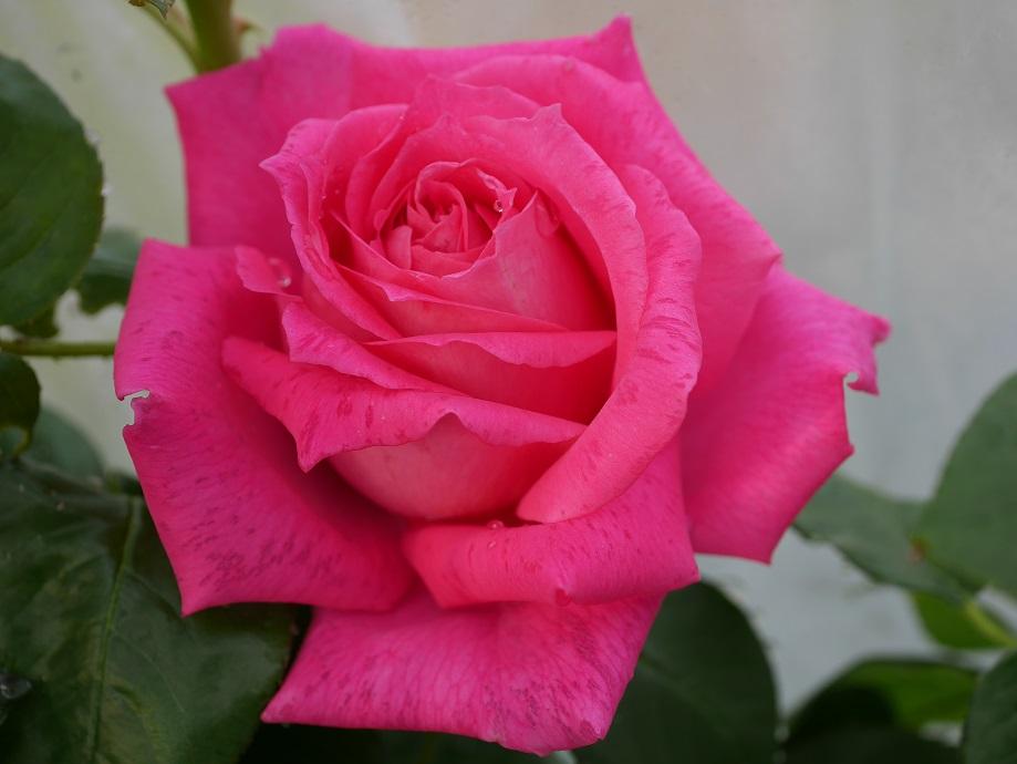 パープルが混じるピンク色の大輪のバラ「エデン・ローズ」の花姿。