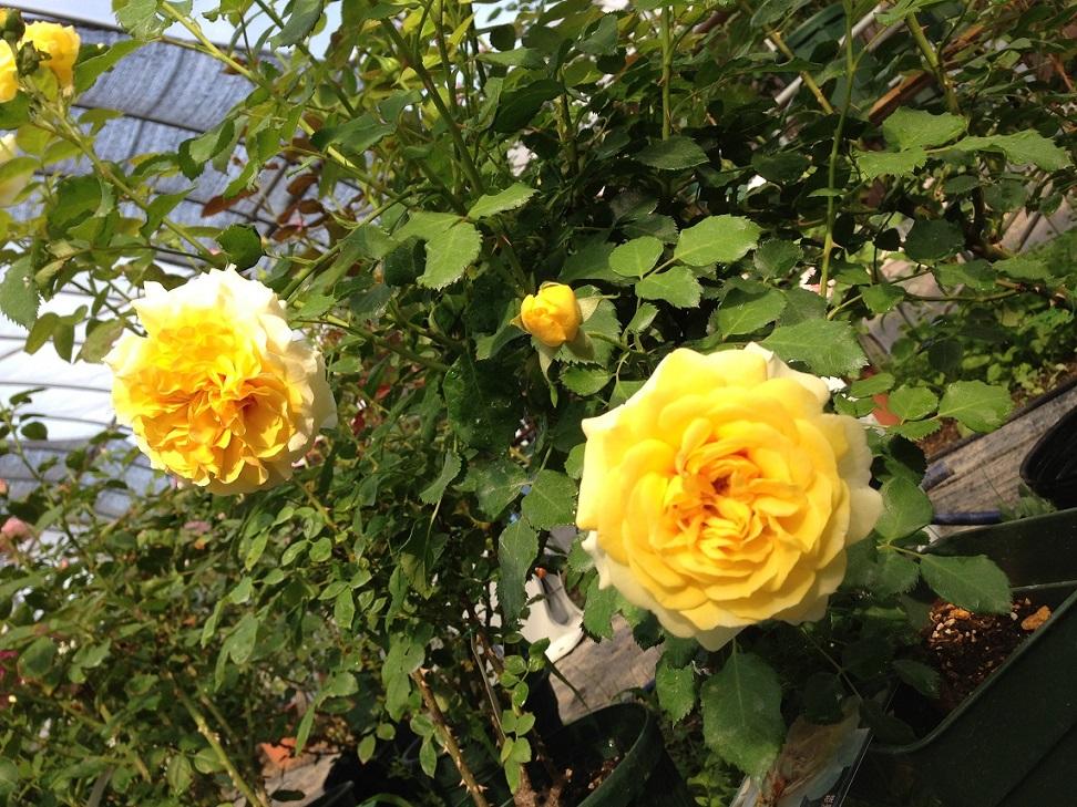 クリームイエローのロゼット咲きのバラ「サン・アンド・ハート」の花姿。[写真右]