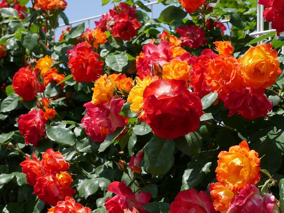 黄色~オレンジ~赤へと色味が変遷するバラ「ふれ太鼓」が咲きほこる写真。