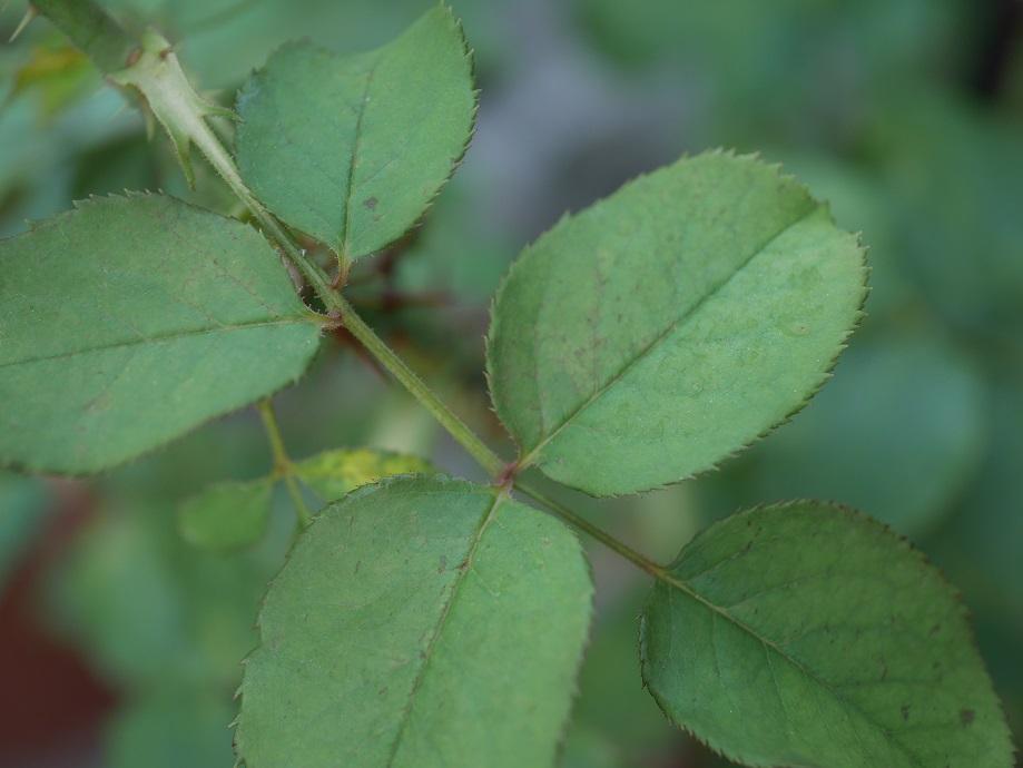 バラ「ムンステッド・ウッド」の古い葉。