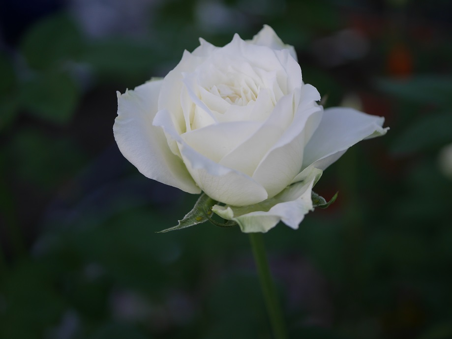 1輪咲いている半剣弁高芯咲き白バラ「ティネケ」の花姿。[撮影者:花田昇崇]
