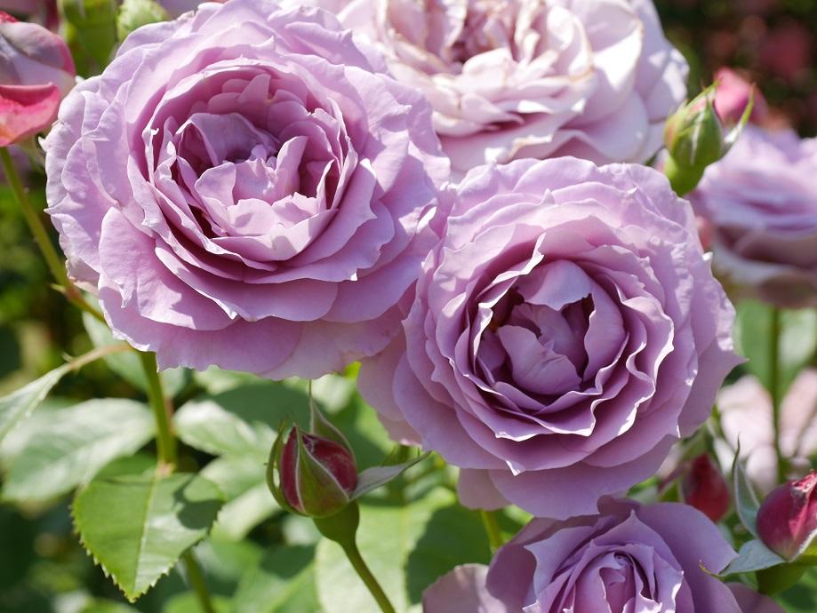 藤色のバラ「ノヴァーリス」の美しい花姿。[撮影:花田昇崇]