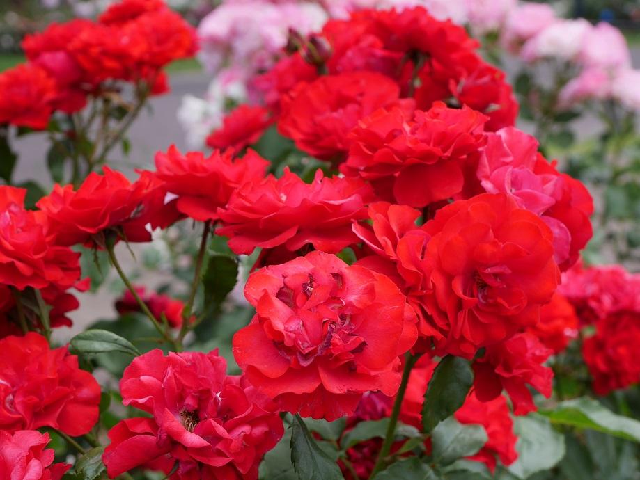 咲きほこるバラ「ポンデローザ」(フロリバンダ)の花姿。