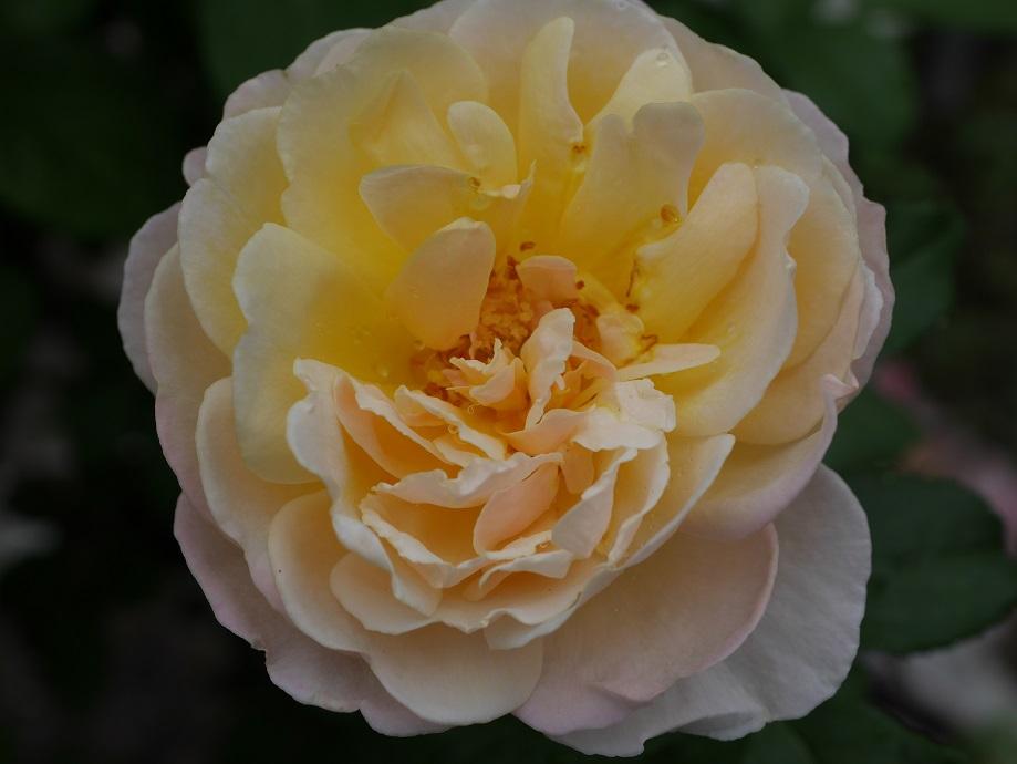 黄色のフリルが特徴的なバラ「ソレイユ・ヴァルティカル」の花姿。