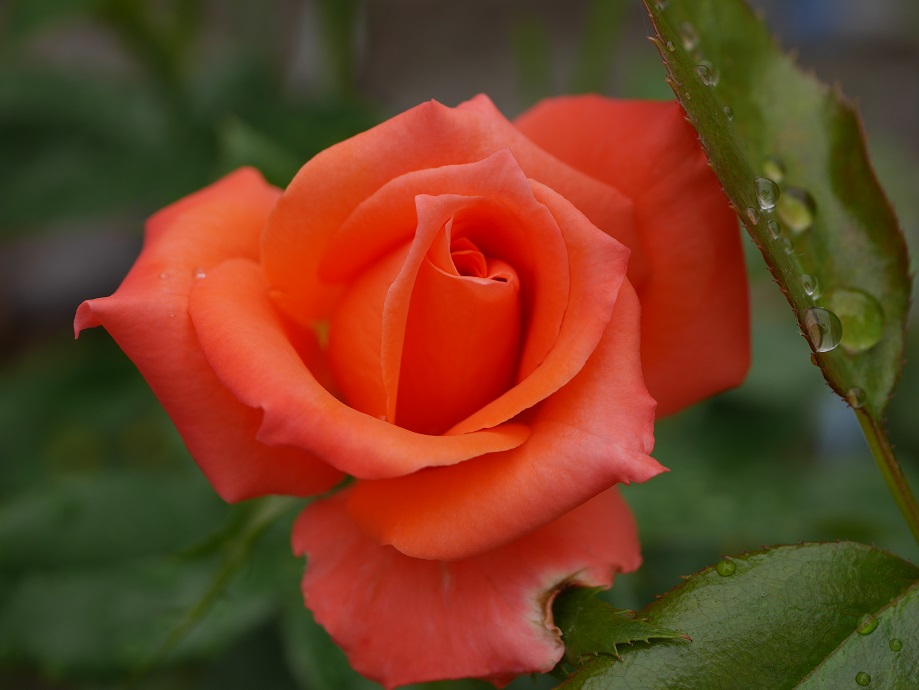 濃いオレンジ色のバラ「マリーナ」の花姿。