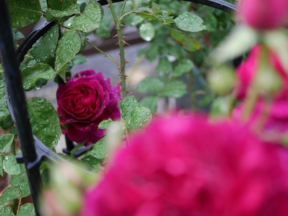 写真の奥側に写った1輪の「ムンステッド・ウッド」の花姿。