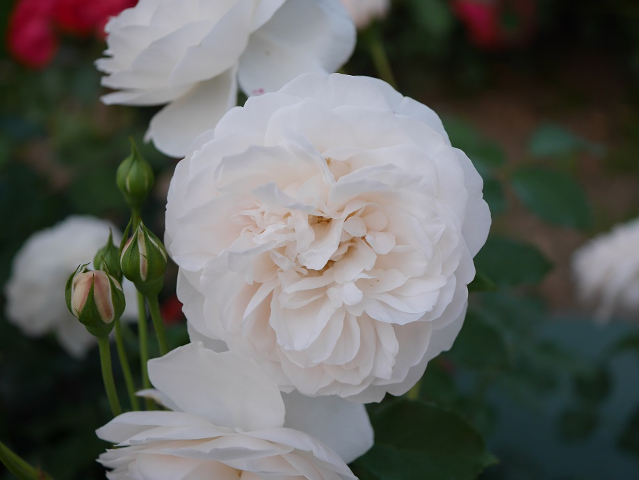 ホワイト~アイボリーを基調にクリームイエローほんのり混じるバラ「レッチフィールド・エンジェル」の花姿。