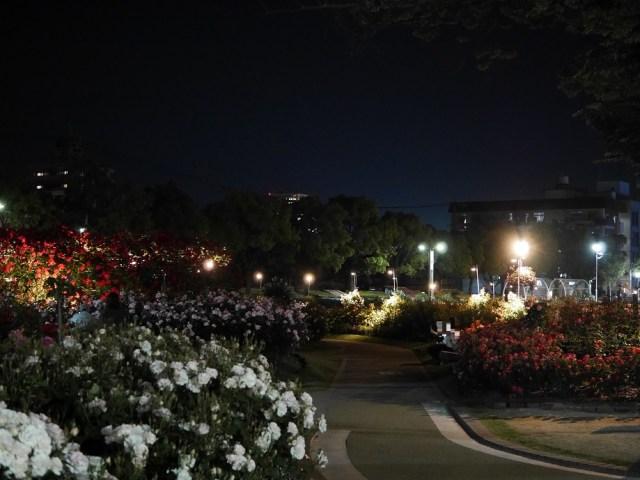 5月半ばのバラの最盛期の夜間にライトアップされた福山市ばら公園の園内の様子。