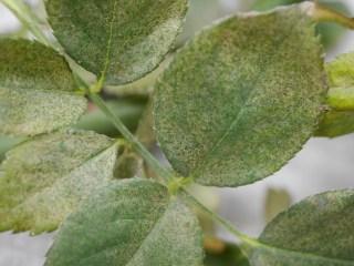 バラの害虫「ハダニ(Spider-mite)」に寄生されたバラ「サマー・レディ」の葉の表面を写した写真。