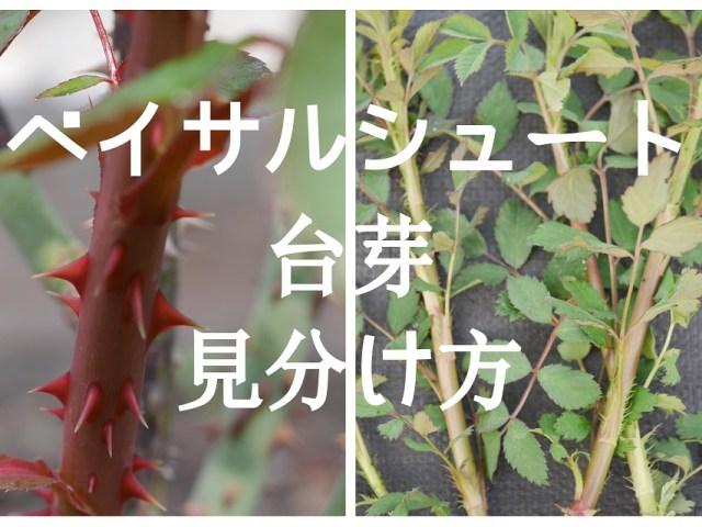 当サイトのコンテンツ「ベイサルシュートとノイバラの台芽を見分ける2つのポイント」のアイキャッチ