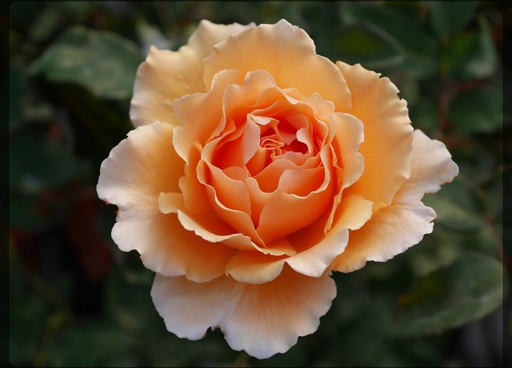 当サイトのコンテンツ「世界に愛されたフルーティーな大輪バラ[ジャスト・ジョーイ]の栽培実感」のために作ったアイキャッチ