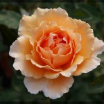 フルーティーな香りを染み込ませた大輪バラ[ジャスト・ジョーイ]の栽培実感