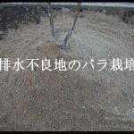 水はけが悪い土地でのバラの地植え|高植えのメリット・デメリット
