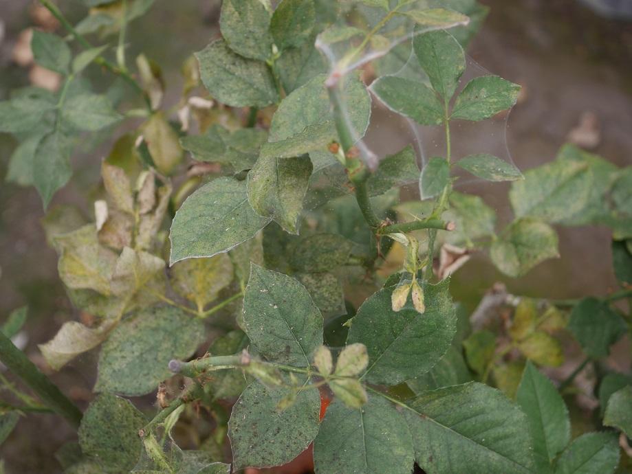 ハダニが蔓延して生気を失ったバラ「ディズニーランド・ローズ」。葉は生気を失い、蜘蛛の糸がはっきりと見えるようになっている。