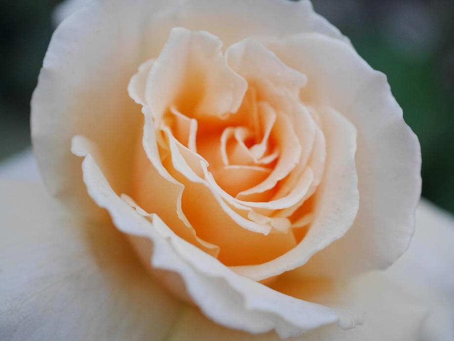 「ジャスト・ジョーイ」の花びらの中心付近を撮影した写真。薄いアプリコット色になっているのは6月末に咲いた2番花のため。