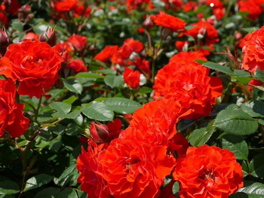 朱色に近い色味のバラ「オレンジ・メイアンディナ」[ミニアチュア]が咲きほこる花姿。