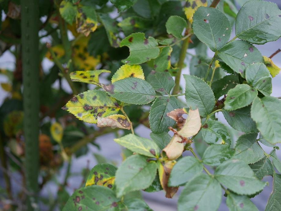 黒星病に感染して黄変しているバラ「王妃アントワネット」の葉。[完全無農薬栽培で育てている。]