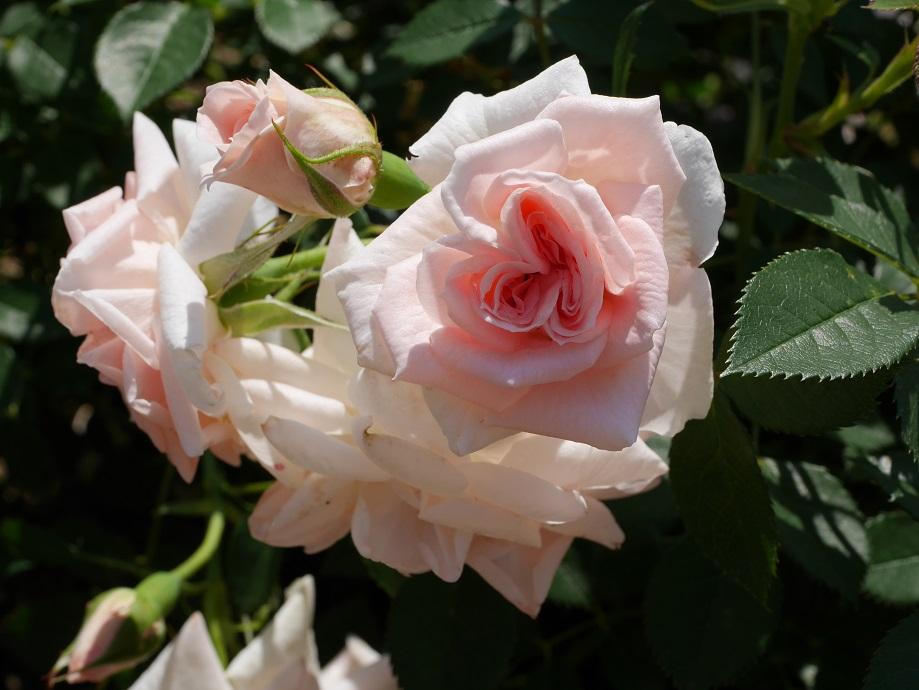 はっきりした花形が特徴のバラ「小夜曲」の花姿。