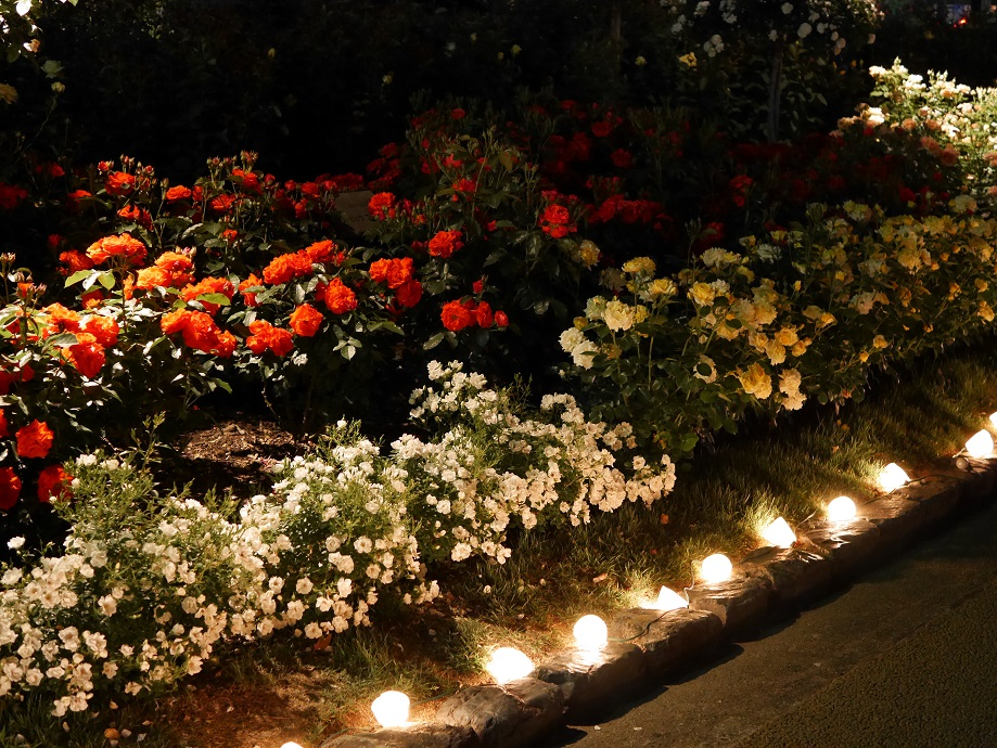 夜間にライトアップされた数々のバラ。