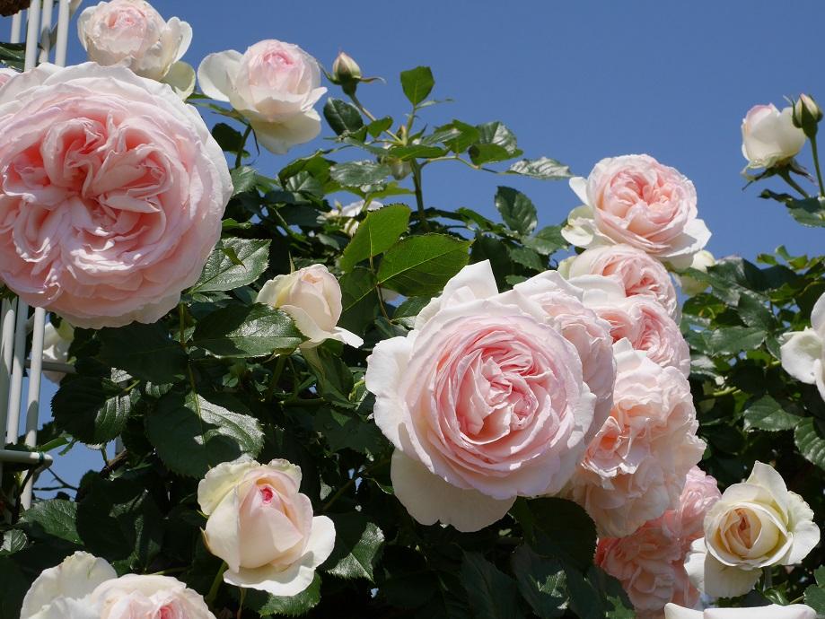 背後の青空に映える美しいバラ「ブラン・ピエール・ドゥ・ロンサール」[LCI]の花姿。[撮影者:ローズフェスタ]