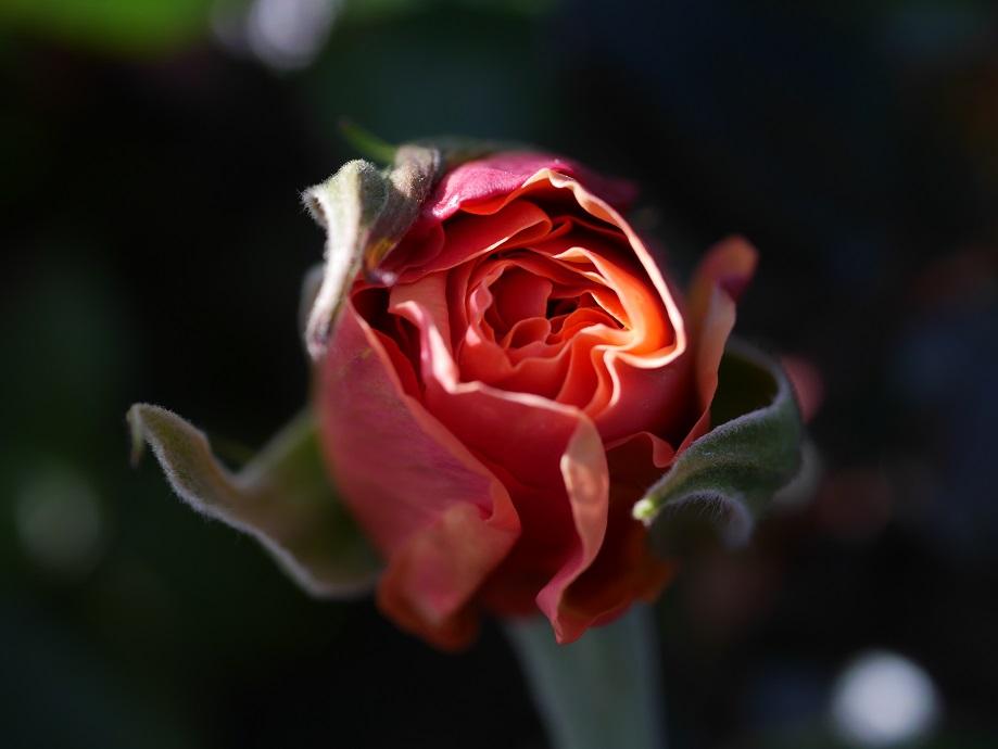 木立ち性・ハイブリッド・ティー品種「ジャスト・ジョーイ」のつぼみを上から撮影した写真。