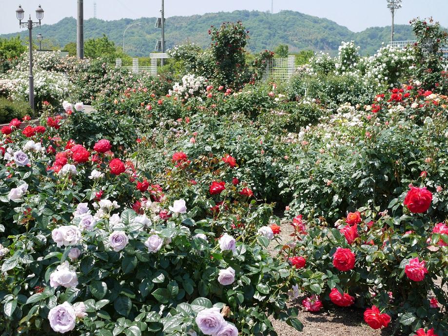 よしうみバラ公園のバラの最盛期を撮影した園内の写真。
