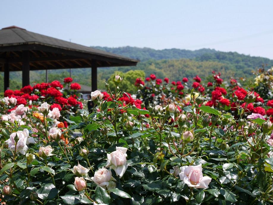 よしうみバラ公園の園内で咲く最盛期のバラの様子。