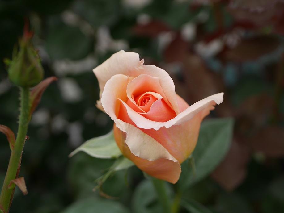 バラ「ジャスト・ジョーイ」の咲きはじめの姿。4分咲きくらい。