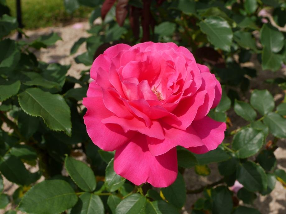 メイアン社のバラ「王妃アントワネット」の9分咲きの花姿。