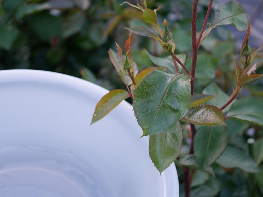 枝の上についたバラゾウムシを下でかまえた洗面器でキャッチしようと試みている様子をうつした写真。
