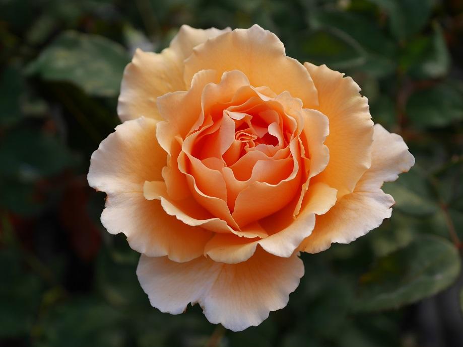 アプリコット色の大輪のバラ「ジャスト・ジョーイ」の花姿。美麗な写真。[撮影者:花田昇崇]