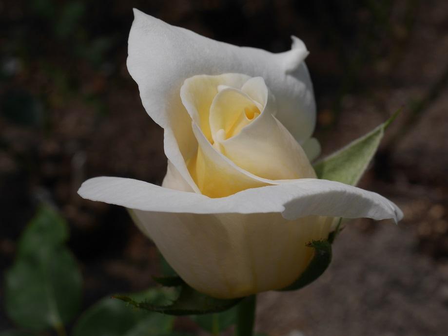 バラ「ホワイト・クリスマス」の9分咲きの美しい花姿。中心付近が淡く黄色がかっているアイボリーホワイトの色味がわかる写真。
