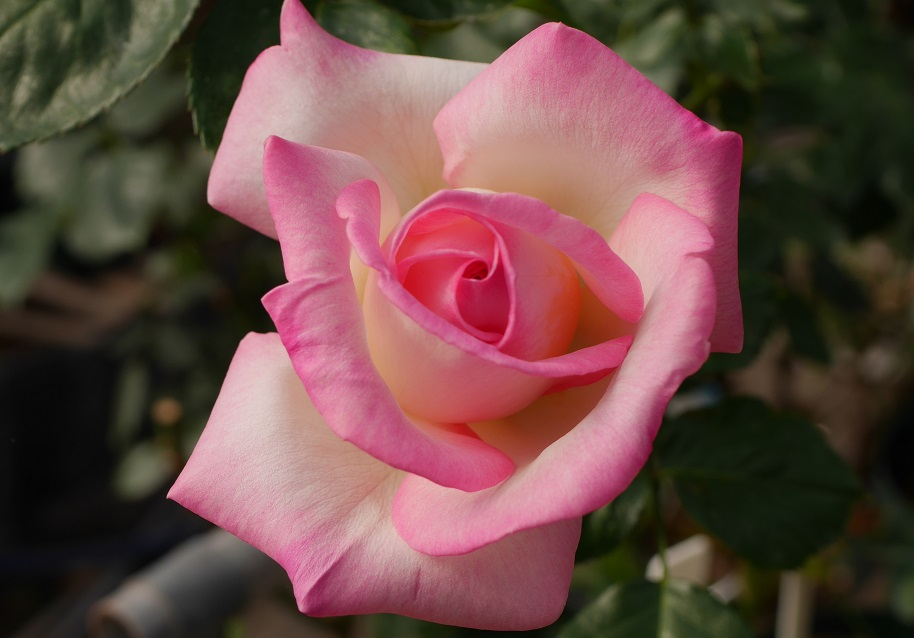 バラ「プリンセス・ドゥ・モナコ」の8分咲きの美しい花姿。