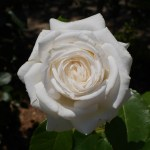 バラ「ビブ・ラ・マリエ!」の8分咲きの美しい花姿を映した美麗な写真。花田昇崇が撮影した。