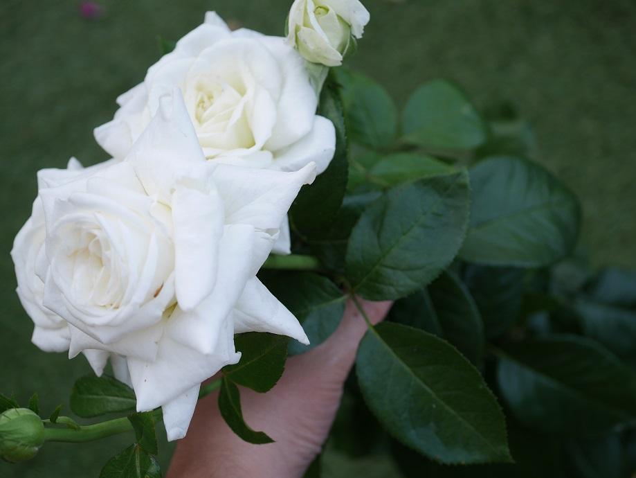 3輪の「ビブ・ラ・マリエ!」の切り花を左手で持ってカメラで撮影した写真。