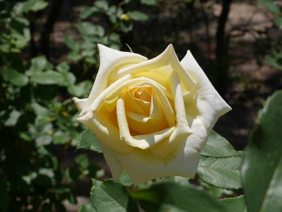 バラ「エリナ」の8分咲きの美しい花姿が1輪写っている。
