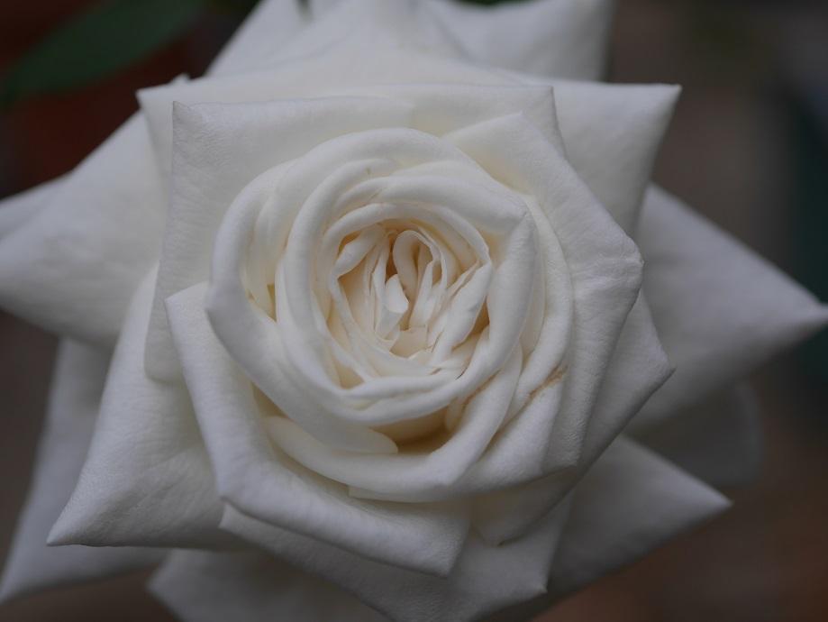 バラ「ビブ・ラ・マリエ!」の8分咲きの花姿をカメラを近づけて撮影した美麗写真。花田昇崇が撮影。