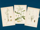 Planches d'illustrations botaniques