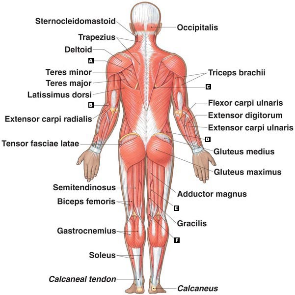 gluteus muscles diagram pain carrier 30hxc wiring muscular system - roseanna q.'s accomplishments