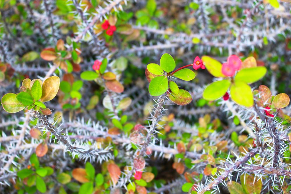 Cactus des serres d'Auteuil