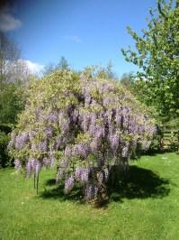 Beautiful wisteria tree.